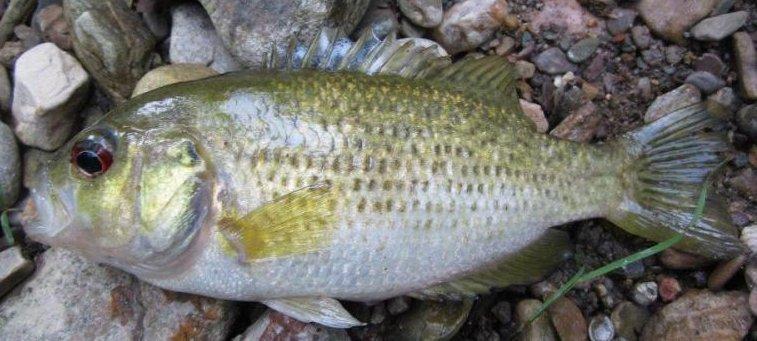 Roanoke Bass, Ambloplites cavifrons