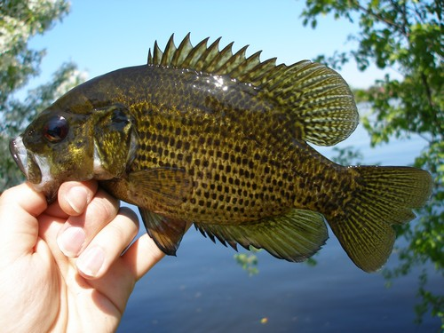 Rock Bass, Ambloplites rupestris