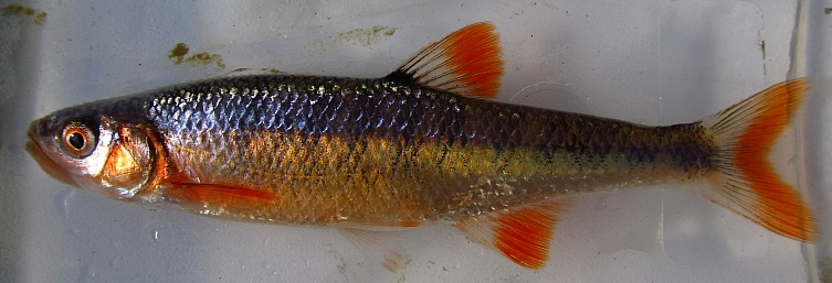 Rosefin Shiner, Lythrurus ardens