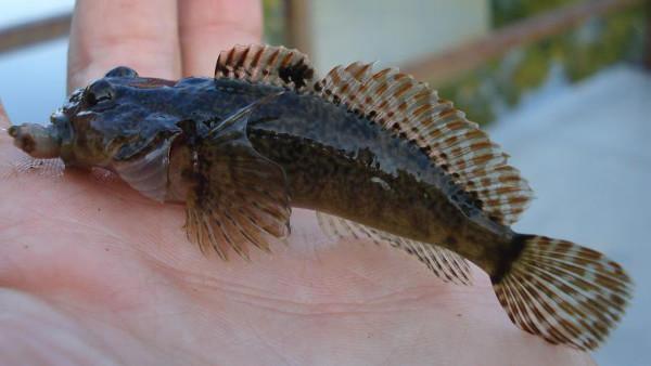 Knobfin Sculpin Cottus immaculatus