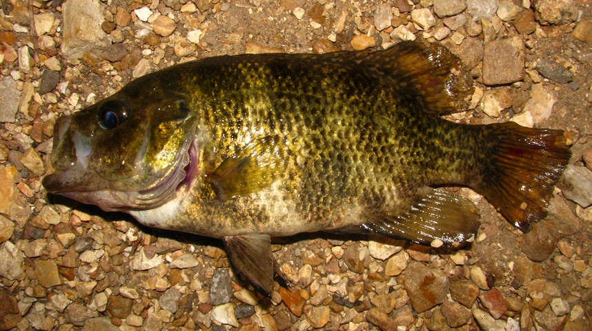 Shadow Bass, Ambloplites anommus