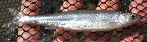Silver Shiner, Notropis photogenis