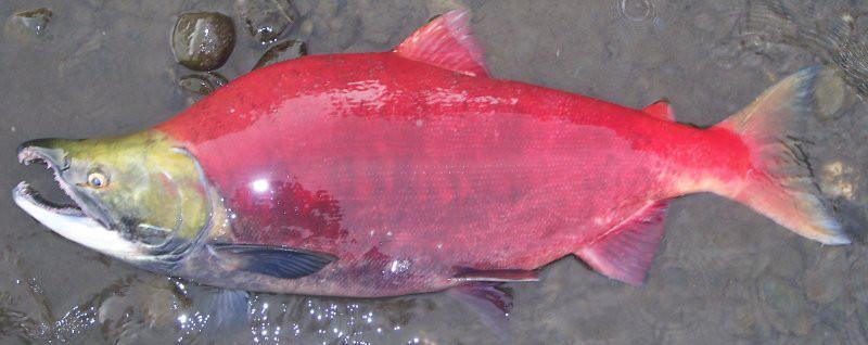 Sockeye Salmon Onchorhynchus nerka