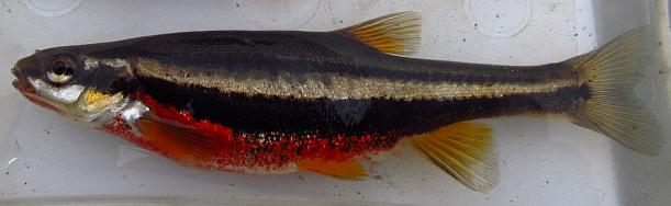 Southern Redbelly Dace Chrosomus erythrogaster