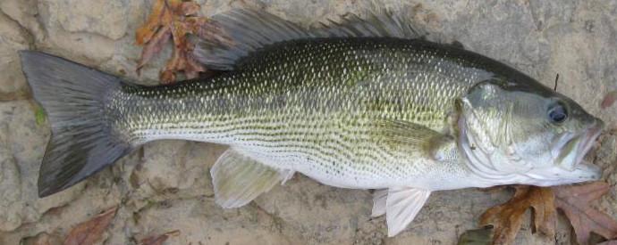 Bass, Spotted - Micropterus punctulatus (Kentucky Bass)