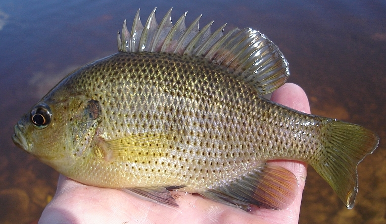 Spotted Sunfish Lepomis punctatus