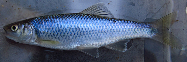 Steelcolor Shiner, Cyprinella whipplei