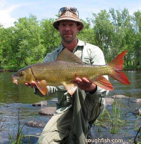 River redhorse moxostoma carinatum for Sucker fish food
