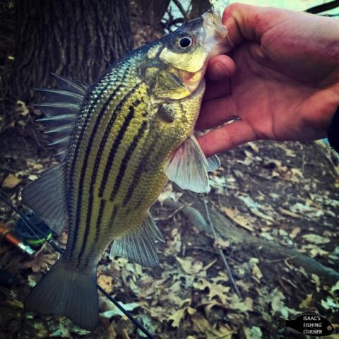 Yellow Bass Morone Mississippiensis