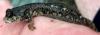 Dialommus macrocephalus Foureye Rockskipper