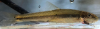 Kanawha Minnow, Phenacobius teretulus