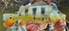 Cichla monoculus Monoculus Peacock Bass