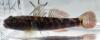 Rhinogobius tyoni Shimahire-yoshinobori