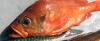 Acadian Redfish Sebastes fasciatus