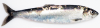 Atlantic Herring Clupea harengus