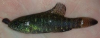 Elassoma zonatum Banded Pygmy Sunfish