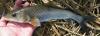 Hemibarbus barbus Japanese Barbel