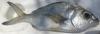 Bigeye Mojarra Eucinostomus havana