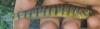 Percina macrolepida Bigscale logperch