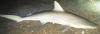 Carcharhinus acronotus Blacknose Shark