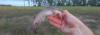 Blue Salmon Catfish Neoarius graeffei
