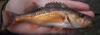 Bocaccio Rockfish Sebastes paucispinis