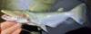 Ageneiosus inermis Bocon Catfish