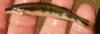 Percina kusha Bridled Darter