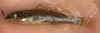 Brown Darter, Etheostoma edwini