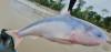 Blue Whale Catfish Cetopsis coecutiens