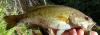 Cahaba Bass  Micropterus cahabae