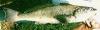 Menticirrhus undulatus California Corbina