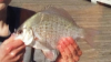 Amphistichus koelzi Calico Surfperch