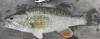 Chattahoochee Bass Micropterus chattahoochae