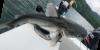 Chili Sea Catfish Notarius troschelii