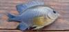 Cocoa Damselfish Stegastes variabilis