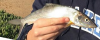 Cortez Bonefish Albula gilberti