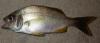 Cortez Grunt Haemulon flaviguttatum