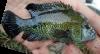 Curvebar Cichlid Herichthys labridens