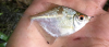Diamond Tetra Moenkhausia pitteri