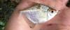 Diamond Tetra Moenkhausia pitteri