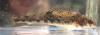 Duck Darter Etheostoma planasaxatile
