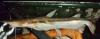 Sorubim lima Duckbill Catfish