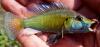 Astatotilapia calliptera Eastern Happy Cichlid