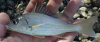 Elongate Grunt Haemulopsis elongatus