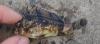 Fortescue, Eastern, Centropogon australia