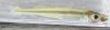Golden Silverside Labidesthes vanhyningi