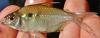 Moenkhausia chrysargyrea Golden-Silver Tetra