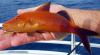 Goatfish, Gold-saddle, Parupeneus cyclostomus