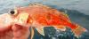 Halfbanded Rockfish Sebastes semicinctus